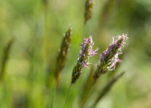 grass-vernal pollen