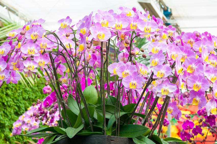 Comment Prendre Soin Efficacement D Une Orchidee Papillon