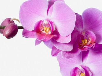 Comment prendre soin efficacement d'une orchidée papillon ?